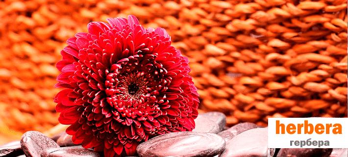 Цветок гербера на английском языке