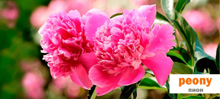 Гербера или пион? Цветы на английском языке!