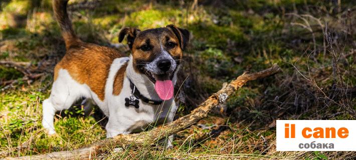 Собака на итальянском языке